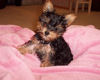 Loving Previous Yorkie Puppies